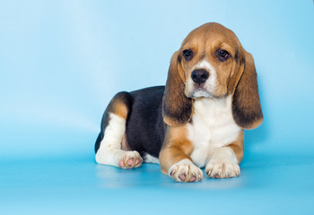 little beagle puppy on a blue background