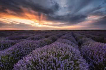 Lavender field / Stunning landscape with lavender field at sunrise near Shabla, Bulgaria
