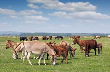 donkeys in pasture spring season