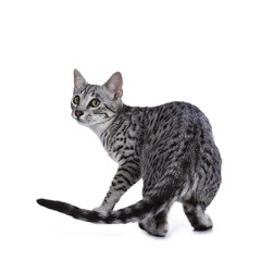 Cute silver spotted Egyptian Mau cat kitten walking / turning around isolated on white background and looking over shoulder
