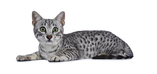 Cute silver spotted Egyptian Mau cat kitten laying down isolated on white background looking straight and lens and tail beside body