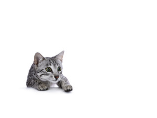 Hunting silver spotted Egyptian Mau cat kitten climbing over edge isolated on white background looking very focussed