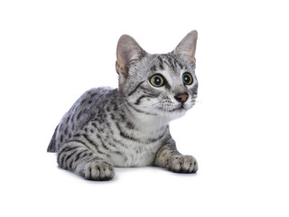 Very focussed cute silver spotted Egyptian Mau cat kitten sitting / hanging over edge isolated on white background ready to jump and catch something