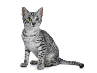 Cute silver spotted Egyptian Mau cat kitten sitting straight up isolated on white background looking beside camera