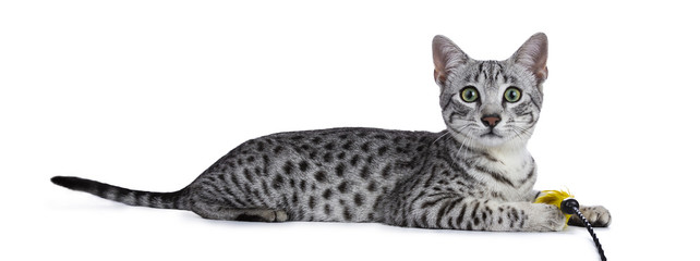 Cute silver spotted Egyptian Mau cat kitten Laying down side ways with yellow feather toy in front paws isolated on white background looking straight in lens