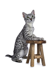Cute silver spotted Egyptian Mau cat kitten sitting with front pawson a little wooden stool isolated on white background and looking up