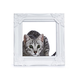 Very focussed cute silver spotted Egyptian Mau cat kitten sitting in / behing white picture frame isolated on white background ready to jump and catch something