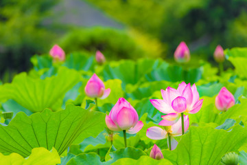 The Lotus Flower.Background is the lotus leaf and lotus bud  and lotus flower and tree.Shooting location is Yokohama, Kanagawa Prefecture Japan.