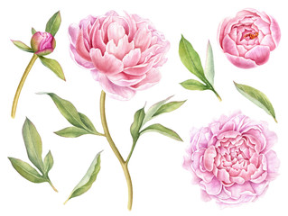 Hand painted floral elements collection. Watercolor botanical illustration of peony,buds and leaves.