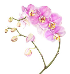 Pink watercolor phalaenopsis orchid isolated on white background. Watercolor botanical illustration.