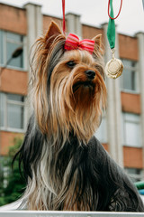 Dog breed Yorkshire terrier