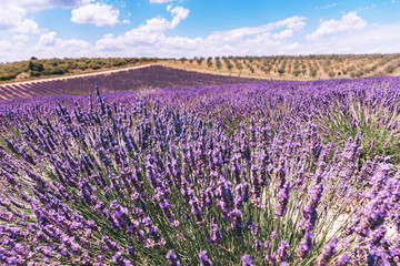 Beautiful image of lavender field.Lavender flower field,image for natural background.Very nice view of the lavender fields, Provence,Plateau Valensole.