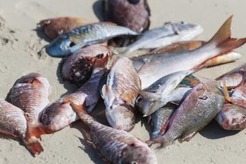 Dead fish on sand at beach, Havana, Cuba