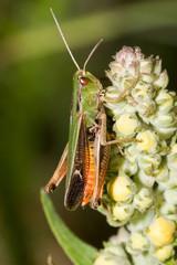 Macrofotografia di un insetto Stauroderus scalaris