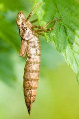 Macrofotografia di un insetto Aeshnidae
