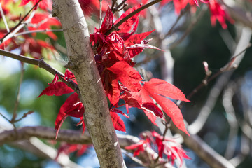 Japanese red maple leaves close up