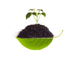 Sapling on pile on leaf