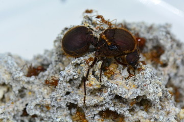 Leaf cutter ant Queen with some of her soldiers.