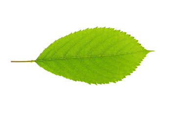 a leaf of a cherry tree on a white background