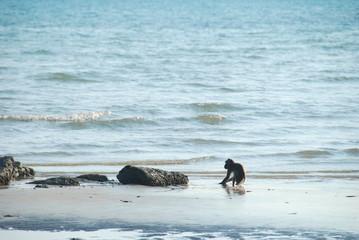 Macaque monkeys walking at a beach