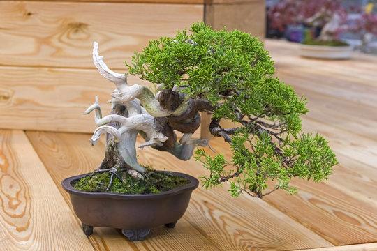 Bonsai tree  - Chinese juniper.