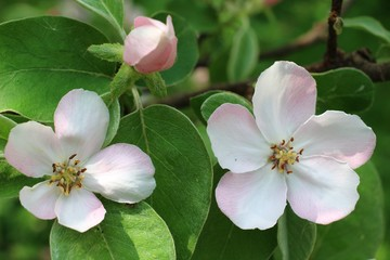 quince blossoms of white color close-up