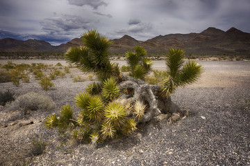 Joshua trees along the Extraterrestrial Highway in Nevada