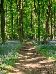 Fototapete - Spring Bluebells in an English Beech Wood