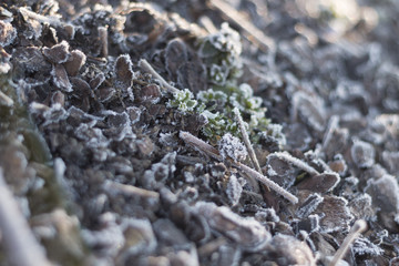 forest soil with green  frost-covered plants and grass with dew on a sunny winter morning