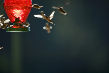 Tiny hummingbirds hovering around a bird feeder