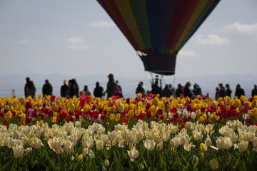 Silhouettes of a hot air balloon and people in a field of vibrant tulips against a pale blue sky with a wisp of clouds