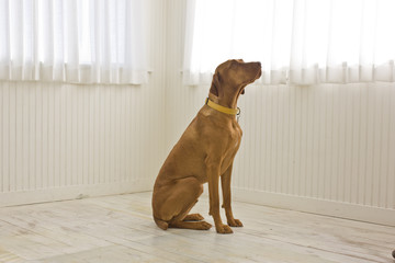 Portrait of a brown dog sitting inside a bare room.