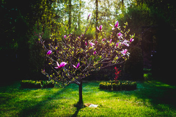 A view of magnolias flower buds. Pink and purple magnolia flowers. Garden work.
