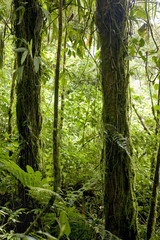 Lush, green foliage surrounds the numerous hiking trails in Monteverde Cloud Forest in Costa Rica.