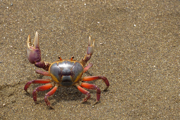 The colorful land crab Gecarcinus quadratus, also known as the halloween crab, makes its way along Paloma Beach in Costa Rica.