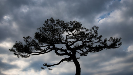 old pine silhouette