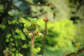 Spring branch of spruce