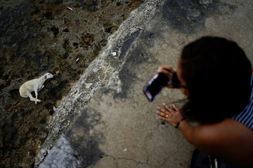 A tourist takes photos of a goat due to be sacrificed by followers of the Afro-Cuban Santeria religion at the seafront in Havana