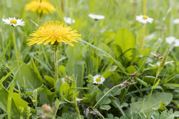 Dandelions growing in the grass.