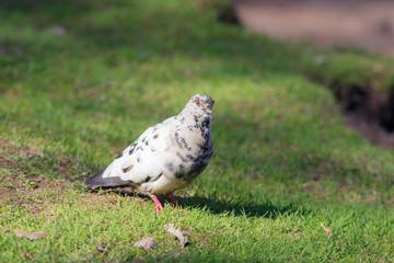 white dove on a spring grass