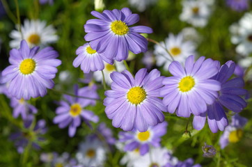 Flowers blue brachycome (lat. Brachycome iberidifolia) closeup