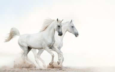 White stallions running gallop