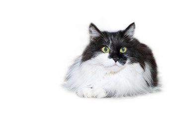 White and black fuzzy cat isolated on white background, copy space