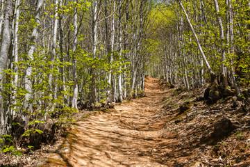 Sendero y bosque de castaños en primavera. Castanea sativa. Las Médulas. El Bierzo, León, España.