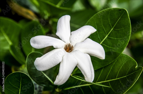 Fleur De Tiare Tahiti Stock Photo And Royalty Free Images On