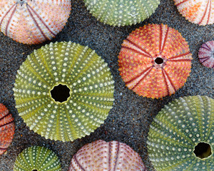 colorful sea urchins shells on wet sand beach