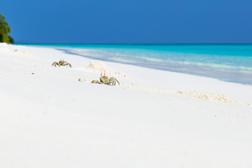 Ghost crabs at work on white sandy beach