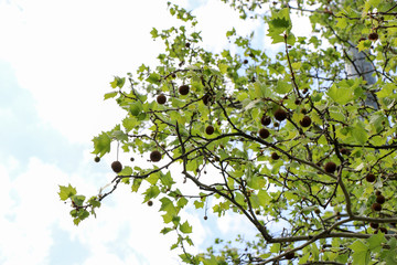 Platanus orientalis. Sycamore. The fruit of the tree is patched.