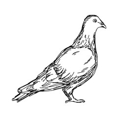 pigeon vector illustration sketch doodle hand drawn with black lines isolated on white background