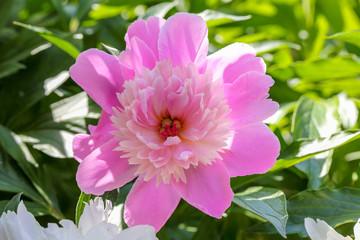 Beautiful pink peony flower 1